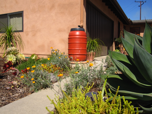 A rain barrel in a beautiful low water use garden