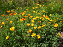 California Poppies at Shipley Nature Center