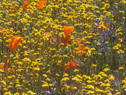 California Wild Flowers